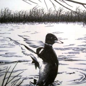 Artwork:  Duck lifting off from the water